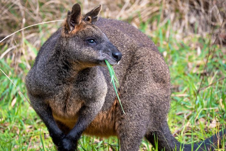 1000 Steps Kangaroo