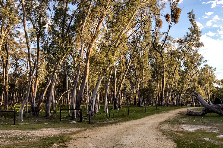 Mt Crawford Forest Gums Heysen Trail
