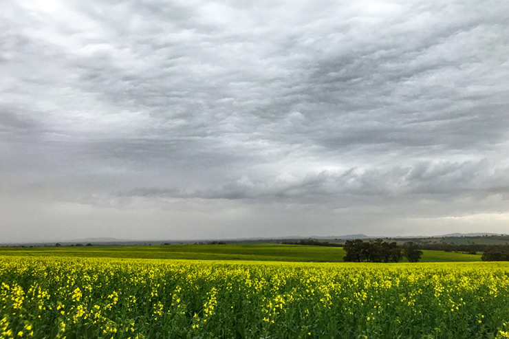 Canola field south of Melrose on the Heysen Trail