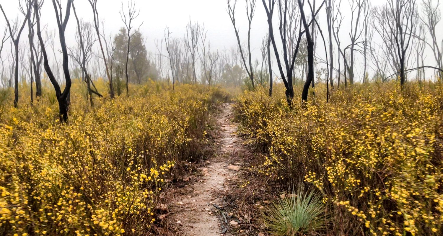 Golden Wattle Path