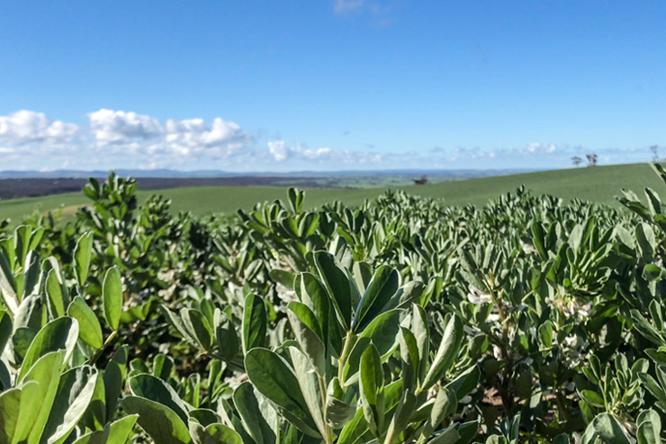 Faba Beans on the Heysen Trail