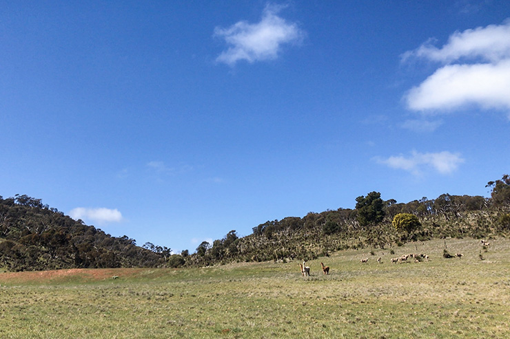 Llamas on the Heysen Trail near Bundaleer