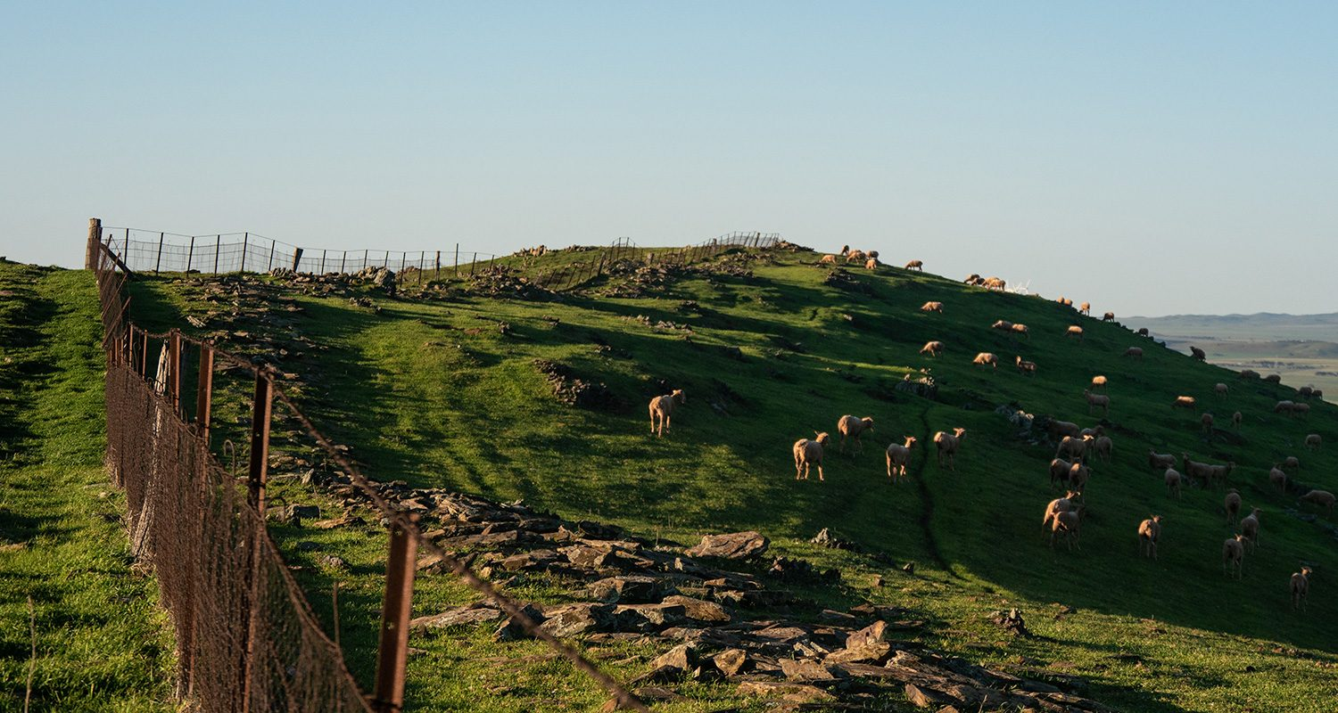 Herd of Sheep on the Heysen Trail in Hallett