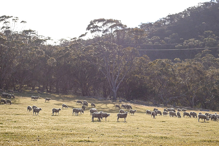 Heysen Trail Tothill Belt Sheep