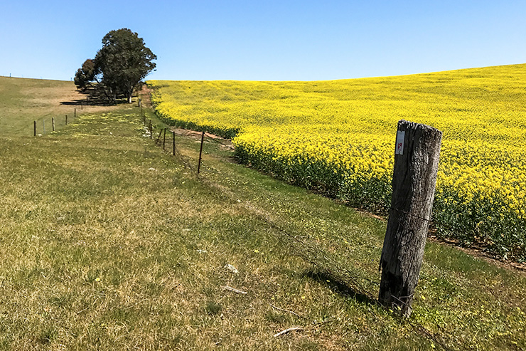 Greenock Canola Fields Heysen Trail