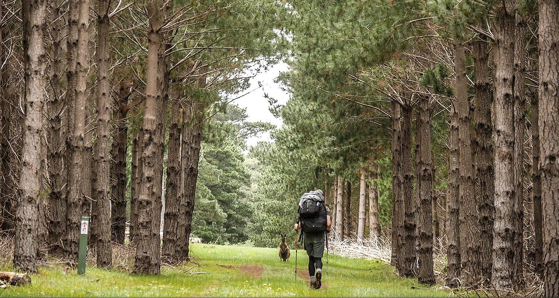 Heysen Trail Kangaroo
