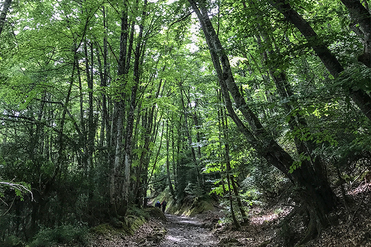 Camino Roncesvalles Forest