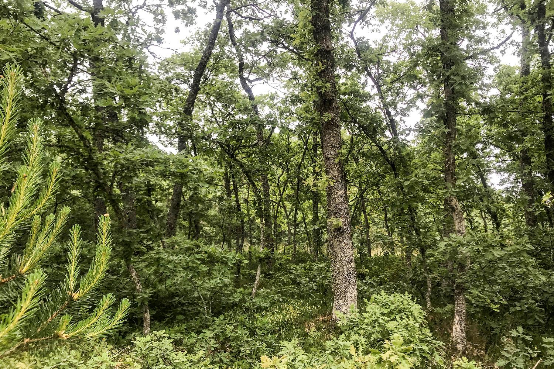 Pine Fern Forest Camino