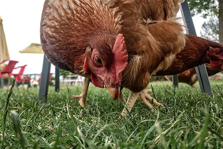 Camino Chickens